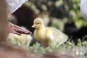 Pequeño bebé ganso — Foto de Stock