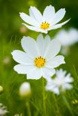 White Cosmea (cosmos) flowers — Stockfoto