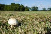 White shiny mushroom — Stockfoto