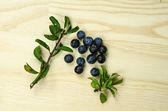 Sloe blackthorn berries  — Stock Photo
