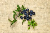 Blackthorn berries with green leaves — Stock Photo