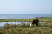 Grazing cow by the coast — Stock Photo