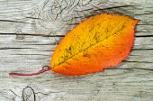 One autumn colored leaf — Stock Photo
