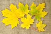 Yellow maple leaves at burlap — Stock Photo