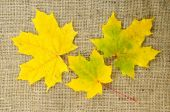Maple leaves in fall colors — Stock Photo