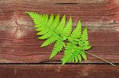 Fresh green bracken twig — Stock Photo