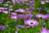 Pink daisy in focus — Stock Photo