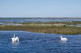 Springtime swans — Stock Photo