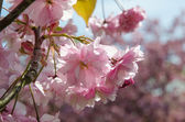 Cherry blossom close up — Stock Photo