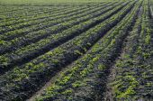 Rows of strawberry seedlings — Stock Photo