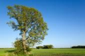 Landscape with oak tree — Stock Photo