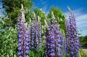 Blue lupines closeup — Stock Photo