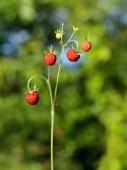 Strawberry twig — Stock Photo