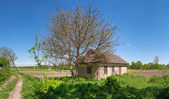 Walnut tree near an old abandoned Ukrainian building — Stock Photo