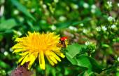 Ladybug on dandelion — Stock Photo