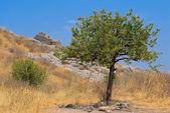 Pomegranate tree. — Stock Photo