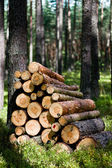 Cut wood trees in the forest — Stock Photo