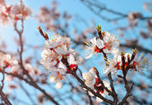 Blossom tree over nature background — Stock Photo