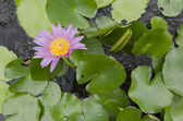 Blooming lotus in the pond (lat. Nelumbo) — Stock Photo