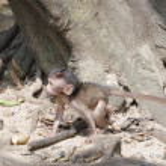 Cub of long-tailed macaques (lat. Macaca mulatta, Old World monkey family) in Wat Suwan Kuha Temple (Phang Nga), Thailand — Stock Photo #59565175