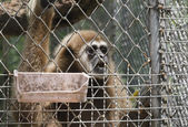 Long-armed gibbon (lat. Hylobates) in the cell — Stock Photo