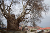 800-year-old sycamore in the city of Telavi - the oldest tree in Georgia — Stok fotoğraf