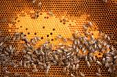 Bees Broods — Stock Photo