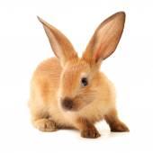 Brown bunny — Stock Photo