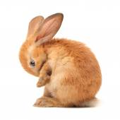 Brown bunny — Stock Photo