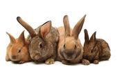 Brown rabbits — Stock Photo