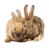 棕兔 — 图库照片