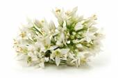Chinese chive flower — Stock Photo