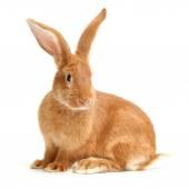 Orange rabbit — Stock Photo