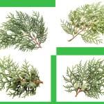Leaves of pine tree or Oriental Arborvitae — Stock Photo #54609925