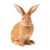 Orange kaninchen — Stockfoto