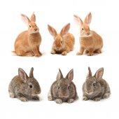 Conejos marrón — Foto de Stock