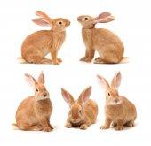 Bruin konijnen — Stockfoto