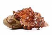 Conch and pebbles — Stock Photo