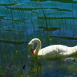 White swans on the water. — Stock Video #52481045