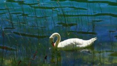 水の上の白い白鳥. — ストックビデオ