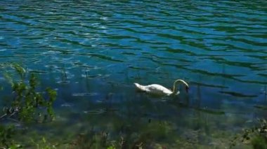 White swans on the water. — Stock Video