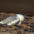 Ring-billed Seagull — Stock Photo #70046473