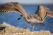 Juvenile Herring Gull — Stock Photo
