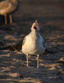 Ring-billed Gull — Stock Photo