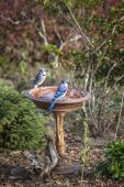 Two Blue Jays Stand On A Birdbath — Stock Photo