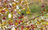 American Robin Perched In A Crab Apple Tree — Stock Photo