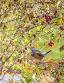 American Robin On A Crabapple Tree — Stock Photo