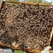 Apiarist holding a healthy honey bee frame covered with bees and — Stockfoto #81018028