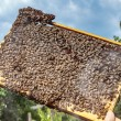 Apiarist inspecting a healthy honey bee frame covered with bees — Photo #81018036