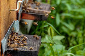 Hives in an apiary with bees flying to the landing boards in a g — Stock Photo